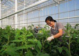 glastuinbouw-tomaten-kweker-scherminstallatie-zonwering
