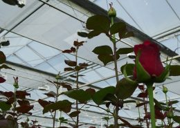 lansbergen roses red naomi with climate screen new harmony