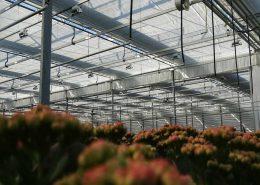 scherminstallatie-kortedagplant-kalanchoe-sierteelt