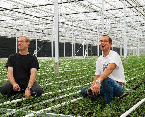 Chrysantenteelt in Nederland met verduisteringsscherm